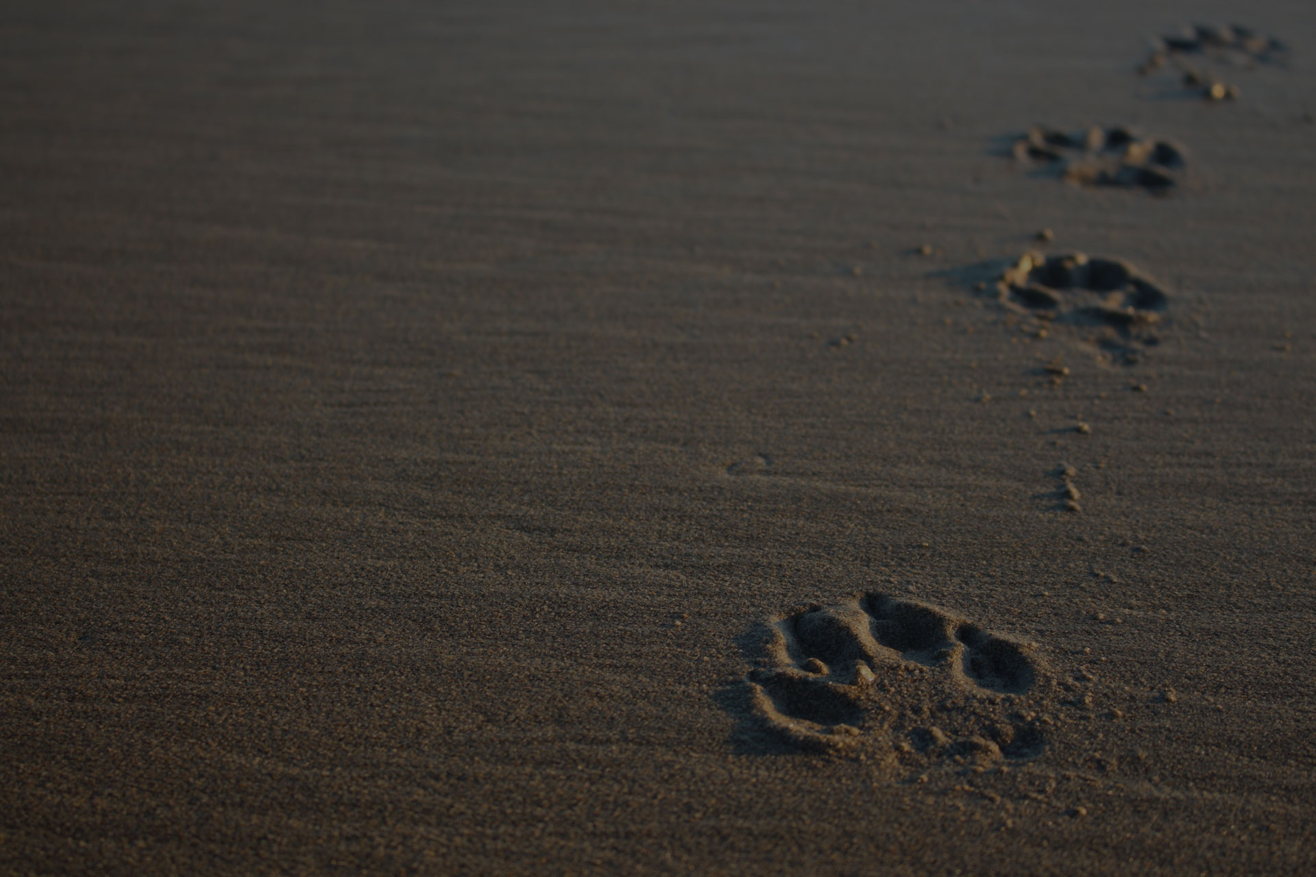 Four Dog Paw Prints on the Sand in Washington State (Long Beach, WA)