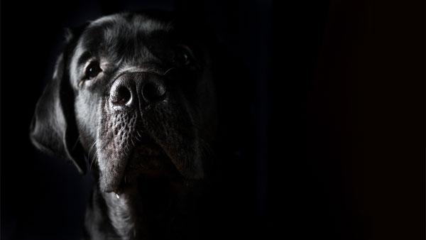 Closeup portrait of black Labrador dog on black background