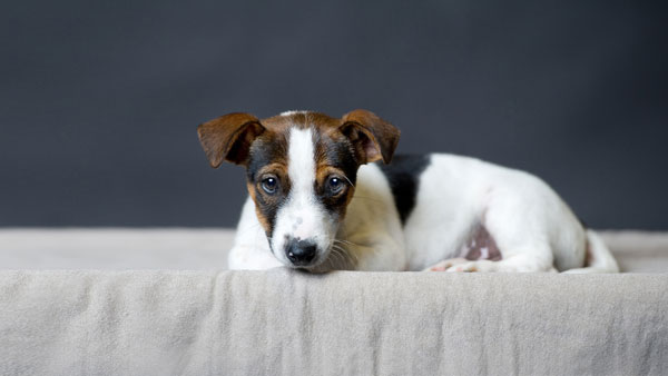 Puppy Jack Russell Terrier lies on the grey