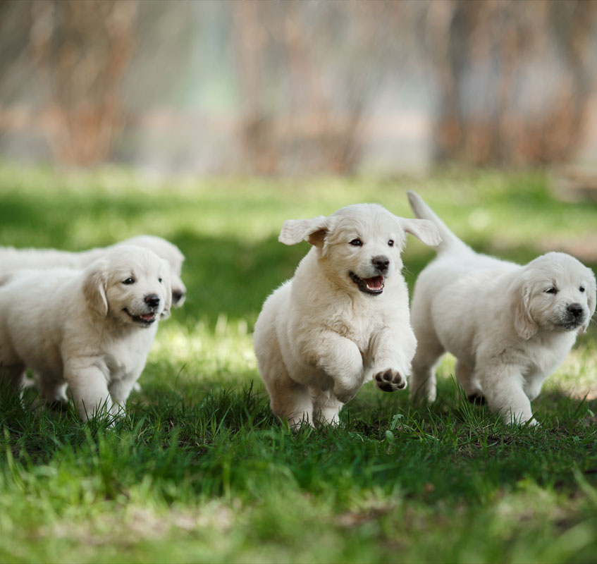 Beautiful group of golden retriever puppies running on the grass