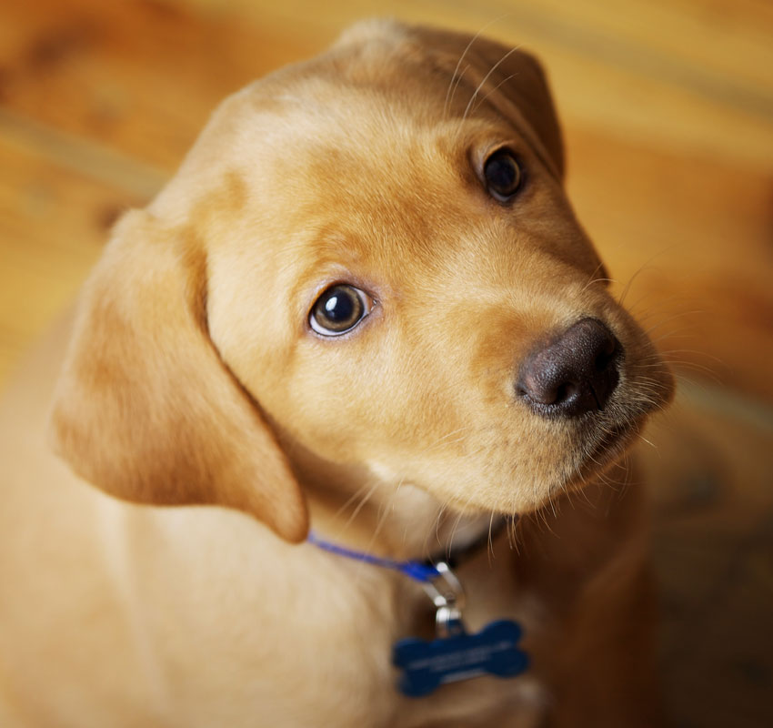 Adorable Labrador Puppy Sitting on Wood Floor