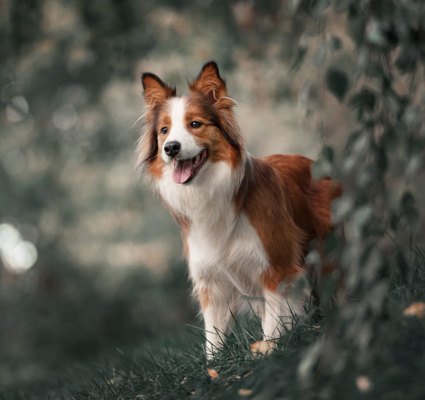 Corgi in the forest